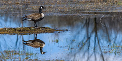 DSC_0121.jpg (David Hamments) Tags: clinton goose hike canadageese wildlife bird hullettmarsh nature