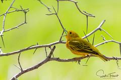 Paruline jaune (EXPLORE) (www.sophiethibault.ca) Tags: 2018 québec refugemargueritedyouville nature mai canada châteauguay îlestbernard oiseaux parulinejaune oiseau bird yellow jaune