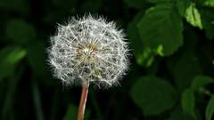 La tête dans les étoiles (BrigitteChanson) Tags: pissenlit dandelion dentedileone dientedeleón