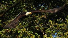 Bald Eagle (Sandy Paiement) Tags: baldeagle haliaeetusleucocephalus