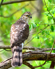 Cooper's Hawk (Accipiter cooperii) (Steve Arena) Tags: coopershawk accipitercooperii accipiter birdofprey bird birds birding raptor hawk andrewspoint rockport essexcounty massachusetts 2018 nikon d750
