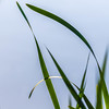 2018-05-08--autour des étangs0045.jpg (heijoelle) Tags: leaves reeds feuilles luxembourg europe roseaux remerschen