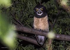 Spectacled Owl (Pulsatrix perspicillata) (Gmo_CR) Tags: pulsatrixperspicillata spectacledowl costarica santaana búhodeanteojos oropopo