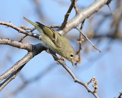 2018-05-01 Montrose Point 4 (JanetandPhil) Tags: 2018naturepreservesvariouslocations birds montrosepointbirdsanctuary lincolnpark chicagoparkdistrict chicagoil rubycrownedkinglet reguluscalendula
