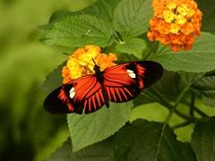Heliconius melpomene (Linda DV) Tags: lindadevolder lumix panasonic dcfz83 geotagged geomapped tenerife 2018 spain islascanarias canaryislands europe icoddelosvinos mariposariodeldrago butterflygarden ribbet