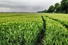 Weeds (Thomas Rotte) Tags: weeds valkenburg netherlands limburg green field tracks path landscape countryside agriculture sibbe