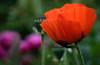 Mohn (blancobello) Tags: mohn poppy pink magenta orange red flower