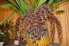 """Orchid Society of California """"Mothers' Day Weekend Orchid Show & Sale; Cymbidium Cricket 'Glenwood' primary hybrid orchid 5-18* (nolehace) Tags: cymbidium cricket glenwood primary hybrid orchid 518 cultivar orchidsocietyofcalifornia mothersday show sale society california mothers day weekend showsale 2018 flower bloom plant spring nolehace sanfrancisco oakland lakemerritt fz1000"""