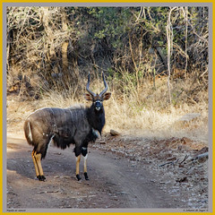 Nyala (Johann (Sasolburg, RSA.)) Tags: nyala highiso iso3200 square squareformat johanndejager ef70300mmf456isusm canoneos60d tragelaphusangasii bovidae antelope
