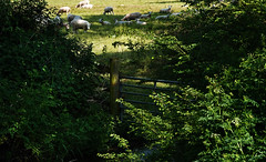 9-Safely grazing sheep - TM102768 (Ramarsh45) Tags: sheep safely grazing field woolly jumper baa lamb stream gate post leaves shadows five bar