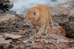 IMG_3034 Rubio, Mallorca (Fernando Sa Rapita) Tags: canon eos6d mallorca rubio sarapita animal cat gatito gato kitten mascota pet canoneos