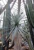 Yucca andreana Deleuil ex André (Syn. Yucca rigida Deleuil ex André) - Palmengarten der Stadt Frankfurt am Main (Ruud de Block) Tags: ruuddeblock frankfurtbotanicalgarden asparagaceae yuccaandreana yucca andreana