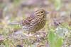 Cirl bunting (f.) - Zigolo nero (Cristiano Tedesco) Tags: cirlus emberiza bunting bird birds zigolo nero wild nature birding