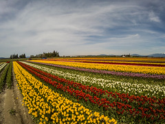 Skagit Valley Tulips-16 (RandomConnections) Tags: roozengaarde skagitcounty skagitvalley tuliptown washington washingtonstate mountvernon unitedstates us skagitvalleytulipfestival
