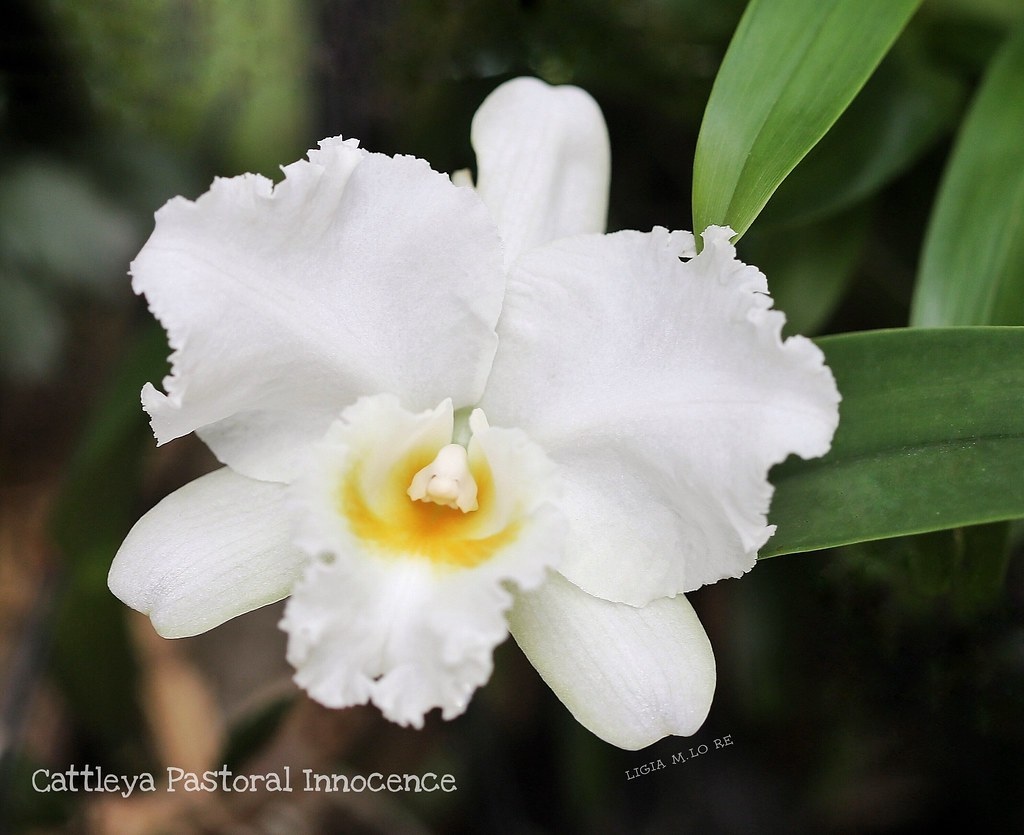 The Worlds Newest Photos Of Cattleyas And Orchid Flickr
