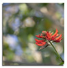 Coral Tree Flower (Bear Dale) Tags: coral tree flower south coast new wales australia nikon d850