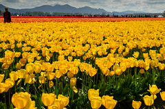 Rows of yellow (seanexmachina) Tags: washington spring tulips skagit skagitvalleytulipfestival roozengaarde