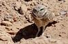 Mad Max -- Burrowing Owl (Athene cunicularia); Los Lunas, NM [Lou Feltz] (deserttoad) Tags: nature newmexico bird wildbird raptor owl owlet desert behavior migration