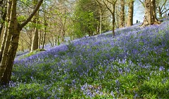 Emmetts Bluebells Tour (Adam Swaine) Tags: bluebells woodlandfloor woodland emmettsgdns emmetts wildflowers flora flowers nature nationaltrust uk ukcounties kentweald kent gardens england english spring springinkent canon counties seasons britain british beautiful trees southeast