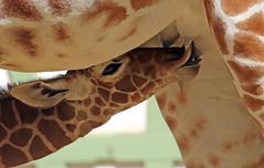 reticulated giraffe artis BB2A0665 (j.a.kok) Tags: giraffe giraffacamelopardalisreticulata netgiraffe reticulatedgiraffe artis animal africa afrika babygiraffe mammal zoogdier dier herbivore