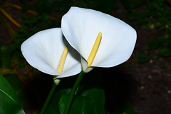 white calla (Bülent Kömürkara) Tags: nikond7200 macro kartepe kocaeli tamronvc70300 flower çiçek yellow sarı nature doğa bitki plant miracle interesting colorful amazing composition outdoor blue lonely harmony nikon super funny landscape light explore one relaxing exotic pretty beautiful most first sky color photo image picoftheday environment green sunny old top gorgeous water sunset red beach night alien drop reflection droplet mantis tokina100mmf28 digital