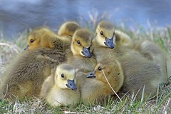 Baby Time (marylee.agnew) Tags: babies spring goslings geese tiny sweet young fuzzy cute water bird nature outdoor