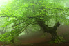 Dreamy spring (Hector Prada) Tags: forest fog spring tree leaves mist bosque niebla primavera arbol hojas bruma musgo moss atmósfera mood raices roots encantado enchanted creepy misterioso naturaleza nature euskalherria paísvasco basquecountry orozko