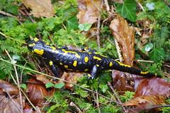 Feuersalamander (Aah-Yeah) Tags: feuersalamander firesalamander salamander salamandra salamandridae schwanzlurch caudata achental chiemgau bayern
