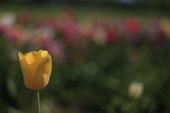 More of the Same (K M V) Tags: tulip tulpe tulppaani tulpan flower flowers blume blumen kukka kukkia tulppaaneja blommor blomma fleur fiore fiori colors brightcolors farben värit kirkkaatvärit färg couleur colori kevät spring frühjahr frühling primavera printemps blur bokeh dof depthoffield syvyysterävyys