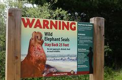 2018-04-22 04-28 Kalifornien 252 Ano Nuevo State Park (Allie_Caulfield) Tags: foto photo image picture bild flickr high resolution hires jpg jpeg geotagged geo stockphoto cc sony rx100 iv 4 2018 usa california kalifornien san francisco highway no 1 n1 see elefant elephant seal mammal colony