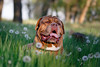SHA_1872 (andreyshkvarchuk) Tags: pet animal dog doguedebordeaux 7d2 mastiff spring summer forest trees grass