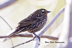 IMG_5709 (nitinpatel2) Tags: bird nature nitinpatel