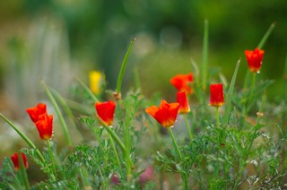 The Last of the California Poppies
