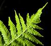 """Jagged"" (Kat-i) Tags: jagged macromondays makro grün green farn fern schwarz black schwarzerhintergrund nikon1v1 kati katharina"