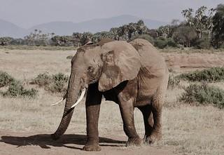Elephant On The Savannah (Loxodonta africana)