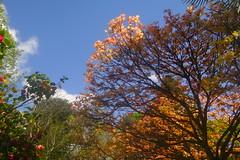 Orange Spring Leaves (Dave Roberts3) Tags: wales newport gwent park bellevue sky blue leaf leaves light shade shadow