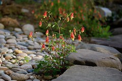 Little Red Lanterns! (ineedathis, Everyday I get up, it's a great day!) Tags: columbine littlelanterns aquilegiacanadensis nature spring yellow green bokeh leaves red dwarfcolumbine flower nikond750 pond rocks