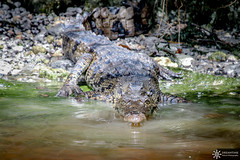 American crocodile - Crocodylus acutus (Dreamtime Nature Photography) Tags: americancrocodile crocodylusacutus evergladesnationalpark usa florida reptilia wildlife animal canon reptile crocodilia dreamtimenaturephotography nature