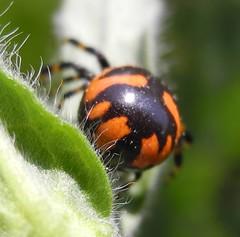 Synema spider (katunchik) Tags: napoleon spider synema
