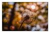 Pusteblume in der Abendsonne (günter mengedoth) Tags: pentacon 30 mm f 35 pentacon30mmf35 pentax pentaxk1 k1 pk vintage vintagelens historisch bokeh pusteblume blume verblüht sonne abend altglas saariysqualitypictures