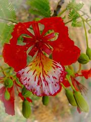 Delonix regia . Flammenbaum (Uhlenhorst) Tags: 2006 australia australien plants pflanzen blossoms blüten travel reisen