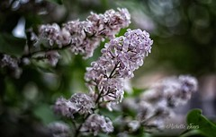 May 12, 2018 - Gorgeous Lilac. (Michelle Jones)