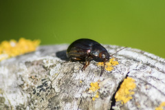 chrysomèles du romarin le  10-05-18 (XxDante64xX) Tags: chrysomèles insectes