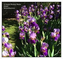Irises in My Yard (Doyle Wesley Walls) Tags: lagniappe 6966 irises flowers color plants nature iphonephoto photograph doylewesleywalls beautiful beau piękny bonita hermosa guapa vacker smuk красивый ωραίοσ kaunis bonito lindo frumos mooi schön skjønn fallegur bello 美しい
