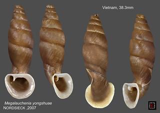 megalauchenia yongshuae vietnam 38mm3