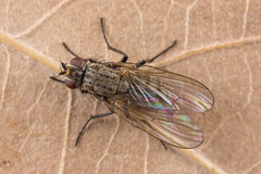Delia ?antiqua (NakaRB) Tags: insecta diptera anthomyiidae delia 2017