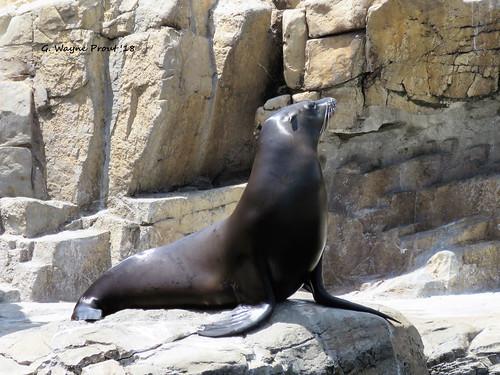 California Sea Lion (Zalophus califonianus)