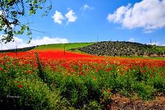 Abril (Anavicor) Tags: landscape poppies amapolas hierba flor paisaje primavera spring printemps abril april campo linares andalucía españa spain espagne nikon d5300 tamron anavicor anavillar villarcorrero ana