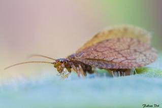IMG_7974 Chambourcy - Hémérobe - Micromus angulatus