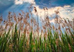 Nature.. (Christian Papagni | Photography) Tags: bosisioparini lombardia italia it piante fiori nuvole cielo sky clouds canon eos 5d mark iv ef50mm f14 usm lago di pusiano